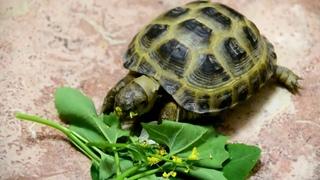 Сухопутная черепашка - любит цветочки, одуванчики, подорожник