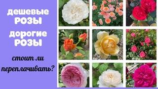 Стоит ли переплачивать за саженцы роз? Эксперимент с английскими розами.