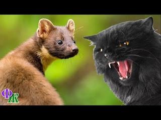 Сатана 12 «Куница вблизи дома – это никуда не годится»  - подумал чёрный кот и решил разобраться