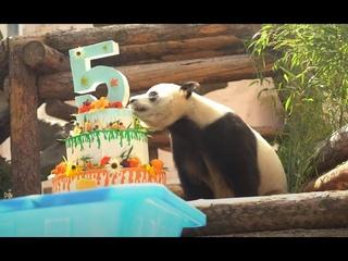 День рождение панд Московского зоопарка