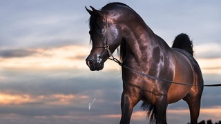 Arabian horse videos compilation 2020. Try not to watch it to the end