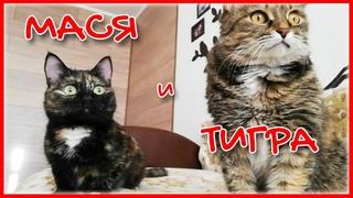 Смешные коты | Мася в гостях у Тигры | Funny Cats 2020 NEW